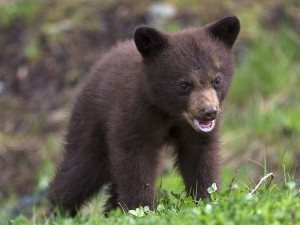 A young black bear eating clover. Vancouver Island Now the tourist guide for visitors