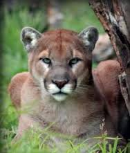 Cougar vancouver Island Now the tourist guide for visitors to Vancouver Island.