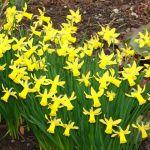 Canadas largest daffodil farm Saanich