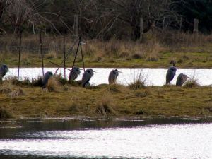 Herons at the Qualicum River eatuary, Qualicum Beach.