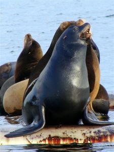 Caliifornian sea lions at Deep Bay wating for the herring to return and spawn.
